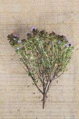 Garden thyme in herbarium