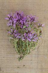 Thyme in herbarium