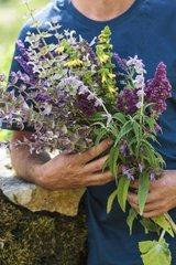 Harvest of sages in a garden