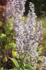 Clary sage in bloom in a garden