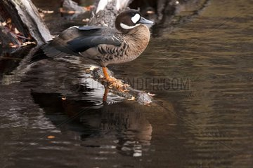 Bronze-winged Duck on bank - Glaciers NP Argentina