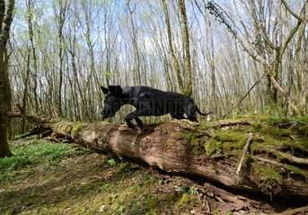 Great Dane jumping over a forest trunk - France
