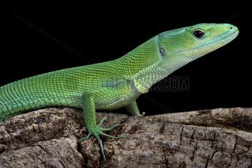 Green Keel-bellied Lizard (Gastropholis prasina)  Tanzania