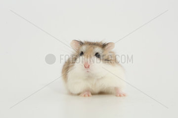 Desert Hamster (Phodopus roborovskii) facing in white background