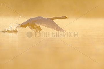 Mute Swan Cygnus olor) flying at sunrise  Ile du Rhin  Alsace France