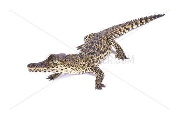 Cuban crocodile (Crocodylus rhombifer) on white background