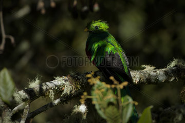 Resplendent Quetzal (Pharomachrus mocinno) male in the shade on a lichen-covered tree  Talamanca Mountains  Costa Rica  July