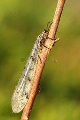 Antlion (Palpares libelluloides) resting on a twig  Alsace  France
