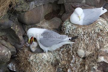 Kittiwake (Rissa tridactyla) feeding a chick at nest  Scotland