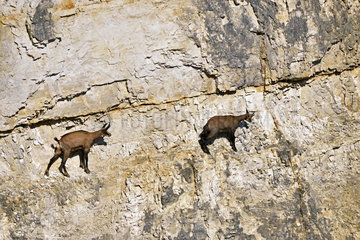 Chamois (Rupicapra rupicapra) in a working quarry  Mathay  Franche-Comte  France