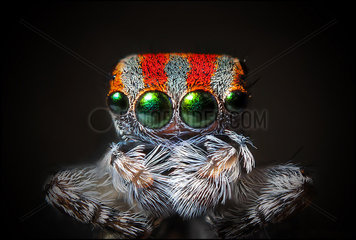 cCose up shot of a deceased Peacock jumping spider (Maratus volans)