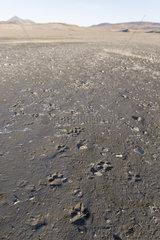 Wolves tracks  Wrangel island  Russia