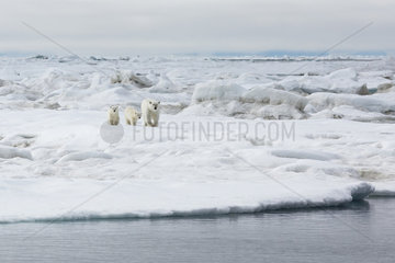 Polar bear (Ursus maritimus) and young on the ice floe  Wrangel Island  Chukotka  Russia