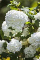 Snowball bush in bloom in a garden