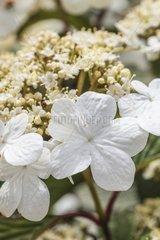 Linden viburnum 'Asian Beauty' in bloom in a garden