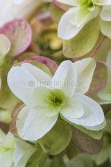 Oakleaf hydrangea 'Snowflake' in bloom in a garden