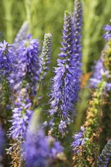 Compact blue speedwell in bloom in a garden
