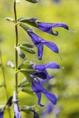 Sage 'Blue Enigma' in bloom in a garden
