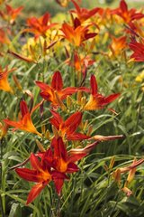 Hemerocalles 'Chicago Firecracker' in bloom in a garden
