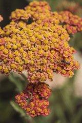 Milfoil 'Walter Funcke' in bloom in a garden
