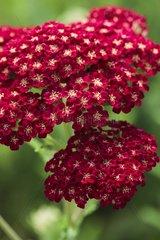 Milfoil 'Red Velvet' in bloom in a garden