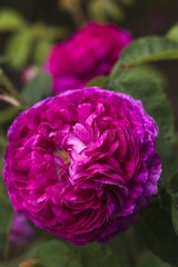 Rose-tree 'Herminie' in bloom in a garden
