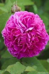 Rose-tree 'Duchesse de Berry' in bloom in a garden