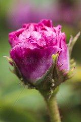 Rose-tree 'Hortense de Beauharnais' in bloom in a garden