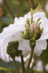 Rose-tree 'Comtesse de Lacepede' in bud in a garden