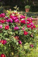 Rose-tree 'James Mason' in bloom in a garden
