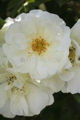 Rose-tree 'Opalia' in bloom in a garden
