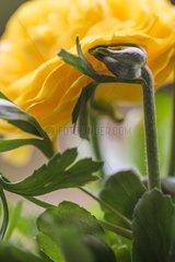 Turban buttercup in bloom in a garden