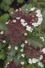 Sargent viburnum 'Onondaga' in bloom in a garden