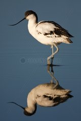 Pied Avocet and its reflection - Sandwich bay Namibia