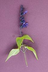 Sage 'Black and Blue' in herbarium