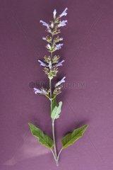 Sage in herbarium