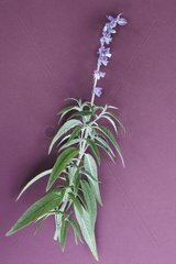 Mexican blue sage in herbarium