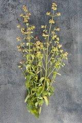 Round-leaved oregano 'Hopfenbluete' in herbarium