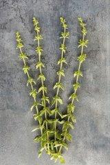 Oregano 'Hot and Spicy' in herbarium