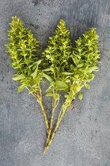 Oregano 'Compactum' in herbarium