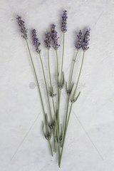 Lavender 'Molten Silver' in herbarium