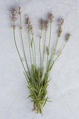 Fine lavender 'Miss Katherine' in herbarium