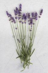Lavender 'Hidcote' in herbarium