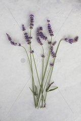Lavender 'Elisabeth' in herbarium