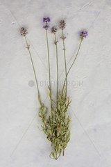 Lavender 'Garden Beauty' in herbarium