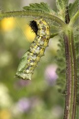 Nymphal molt of a caterpillar of Small Tortoiseshell France