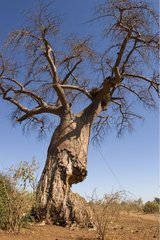 Baobab eaten by African elephant Chobe NP Botswana