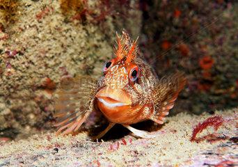 Tompot Blennie (Parablennius gattorugine)  Seven Islands Nature Reserve  Brittany  France Atlantic Ocean