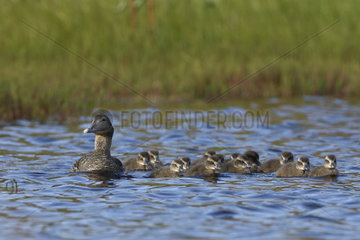 Female Common Eider and youth on water - Varanger Norway