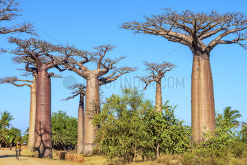 Baobab Alley near Morondava  Madagascar